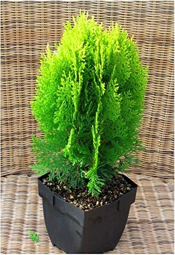 Thuja Platycladus Aurea nana - goldener Zwerg-Lebensbaum 17 cm Topf