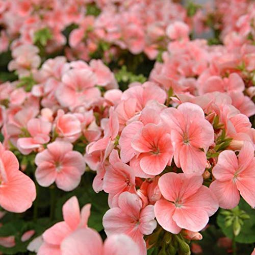AIMADO Samen-30 Pcs Echte Tiroler Hänge-Geranien Tirolia Samen,Bienenfreundlich Blumensamen Geranien samen hängend