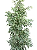 Planta de interior - Planta para la casa o la oficina - Ficus benjamina Variegata - Higuera llorona variegada - 1,1 metros