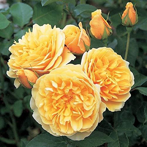 'Graham Thomas' -R-, Englische Rose in A-Qualität Wurzelware