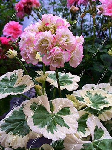 100pcs / sac graines de Géranium rouge rares graines de fleurs bonsaï plante vivace Pelargonium peltatum Graines Chambres intérieur pour le jardin à la maison 1
