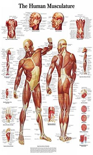 Chicbanners Adhesivo Mural de anatomía con diseño de músculos Humanos, tamaño 1000 mm de Profundidad x 600 mm de Ancho (Grande)