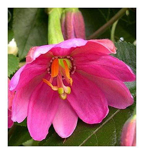 Passiflora mollisima - Fruit de la passion banane - 10 graines