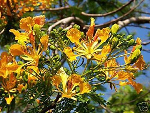 PLAT FIRM Germinación de las semillas: Delonix regia AMARILLO FLAMBOYAN Flamboyán BONSAI RARO ÃRBOL DE SEMILLAS 10 SEMILLAS