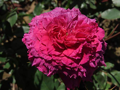 Frilly Knickers! - 5.5lt Potted Floribunda Garden Rose Bush - Exclusive Introduction! Unique Frilled Edged Carnation Style Flowers in deep Magenta, Pink and Plum Tones. Silver Reverse Petal.