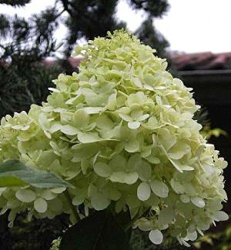 Rispen-Hortensie Hydrangea paniculata -...