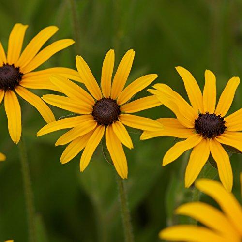 Blumixx Stauden Rudbeckia fulgida var. deamii – Sonnenhut im 0,5 Liter Topf gelb blühend