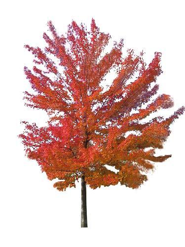 Rot-Ahorn (Acer rubrum) 10 Samen -Winterhart- Wuchshöhen Bis über 30 Meter -Kanadischer Rotahorn-