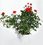 ROSAL - ROSAL SEVILLANO - ROSAL ARBUSTIVO. ¡¡¡ PLANTA NATURAL ¡¡¡ altura: 50-70 cm aproximado, contenedor 18 cm. ENVIOS SOLO PENINSULA
