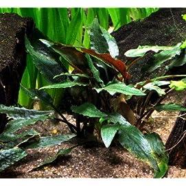 WFW Wasserflora Petchs Wasserkelch Cryptocoryne beckettii ''petchii''