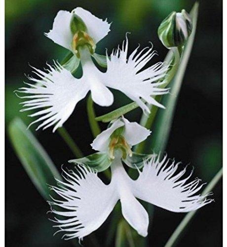 Rare Fleur japonaise Radiata Graines du monde pour Garden & Home Plantation Semillas Flora Envoi gratuit Fleurs blanches spéciales