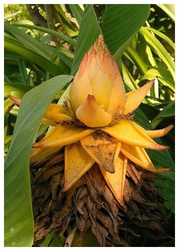 TROPICA - Bananier nain chinois/Lotus d'or (Musa lasiocarpa) - 5 graines- Magie tropicale