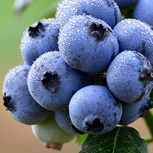 Ncient Graines de Fruits Myrtille 'Vitaminos' - Blueberry Seeds - Graines Semence l'Intérieur et l'Extérieur (10 pcs)