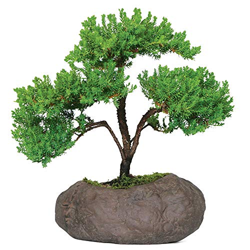 Brussel's Bonsai Live Green Mound Juniper Outdoor Bonsai Tree in Rock Pot-5 Years Old 6' to 10' Tall
