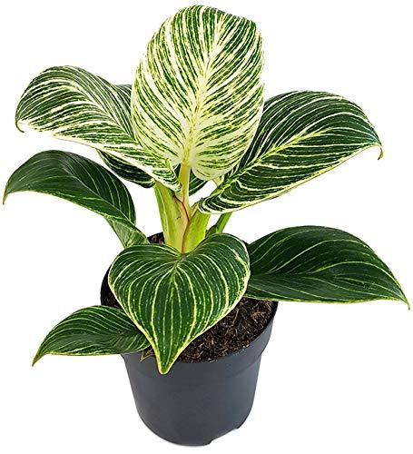 Fangblatt - Philodendron Birkin 'White Measure' - grün weiß gestreifte Baumfreund - pflegeleichte Zimmerpflanze - außergewöhnliche Kletterpflanze