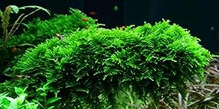 Christmas Moss 'Vesicularia montagnei' - Live Aquarium Plant