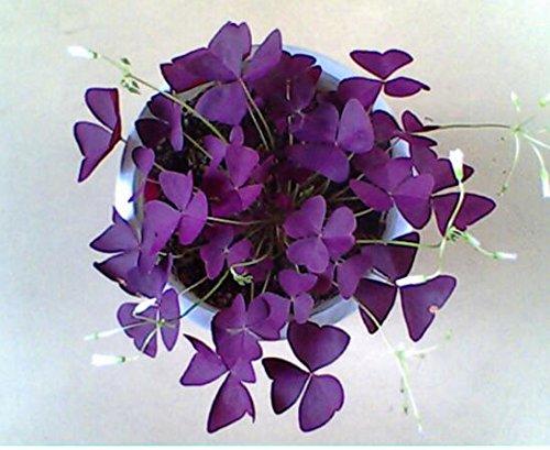 100 Oxalis Red Oxalis Fleur Oxalis pourpre Trèfle 100% graines de bonsaï Real fleurs en plein air vivaces pour le jardin de la maison 4
