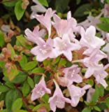 Abelia Fairy Dance AnniversaryAbelia Potted Plant, Nice Starter Plant, Nice addition to your Garden, Simply Gourgeous Flowering Perenial