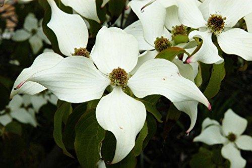 Chinesischer Blumenhartriegel Cornus...