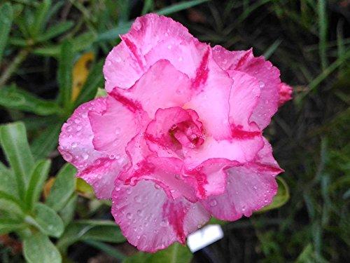 Rosy Adenium Obesum'Triple Amazing'...