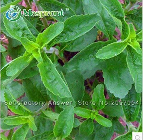 Nouvelles fraîches Graines Stevia, Stevia Herbes Graines vert herbe, Stevia rebaudiana Semillas pour Garden Plantation - 200 particules