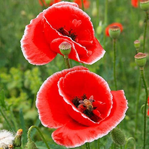 Keland Garten - 10 Stück Blumensamen wie Lobelia, Klatschmohn, Regenbogen Balsamine (Springkraut), Arabischer Jasmin usw. Beet- und Gruppenpflanze für Einfassungen, Blumenschalen, Balkonkästen