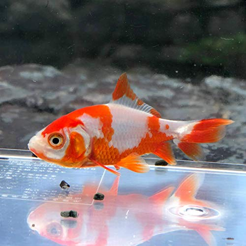 (金魚)国産 更紗和金 平賀養魚場産(1匹)【生体】