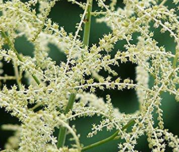 FERRY Keim Seeds: Frische 100 Seeds - Wald-Geißbart Blumensamen