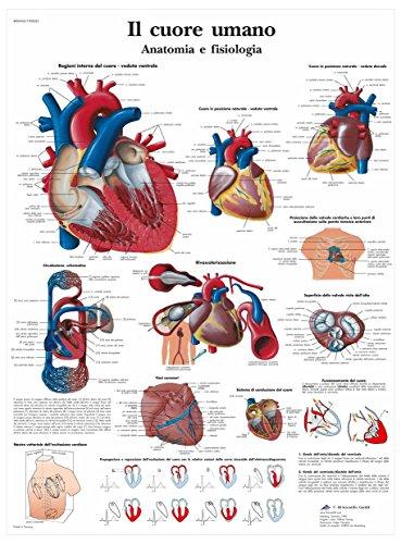 3B Scientific VR4334L il Cuore Umano, Anatomia e Fisiologia