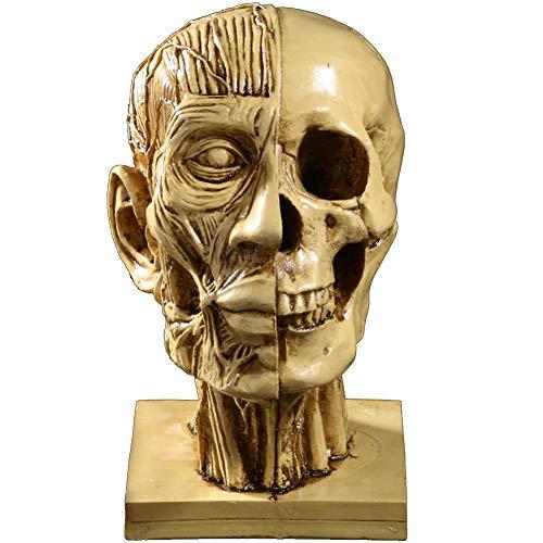 SDBRKYH Escultura de Cabeza Humana, Modelo de Cabeza Humana Modelo médico enseñanza frenología Cabeza Resina artesanía Estatua Arte