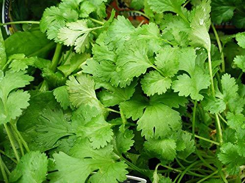 100+ Coriandre Graines Coriandre Herm Non-GMO BIO Choux Garden Salsa Tex Mex