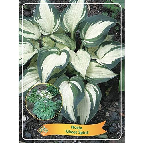 Hosta 25 cm - Funkien - Herzblattlilien Hosta Ghost Spirit