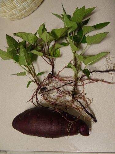 okinawan sweet potato (1 Tubar) Also known as Hawaiian Sweet Potato and Uala.