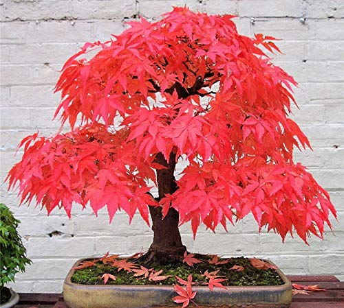 20+ Red Japanese Maple Tree Seeds Bonsai Acer palmatum Small Leaf
