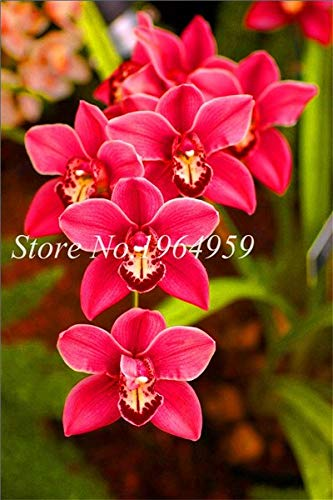 Shopmeeko Graines: Bonsai Multi-couleur de la fleur d'orchidée Fleurs 100 Pcs Potted/Mixed Bag Cymbidium Faberi Balcon Plante en pot pour jardin: 11