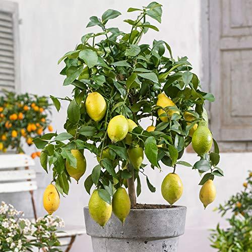 Citronnier avec fruits | Citrus Limon | Plante d'extérieur | Arbre fruitier | Hauteur 40-45cm | Pot Ø 16cm