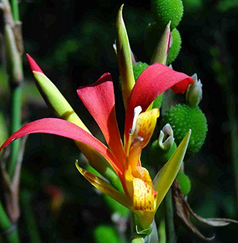 Asklepios-seeds® - Canna indica, 50 Samen, Canna Lilie - Indisches Blumenrohr Saatgut