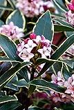 1 Gallon Pot Variegated Pink Winter Daphne Tree Plant