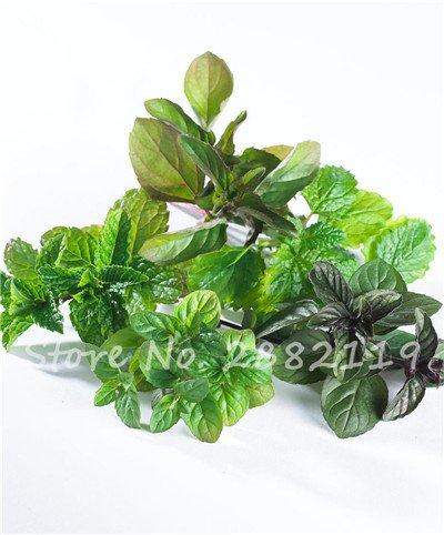 500 pcs menthe verte graines comestibles Cat Mint Balcon Semences à gazon Vente en gros Cat Snack jardin d'herbe verte de plantes d'intérieur Bonsai 2