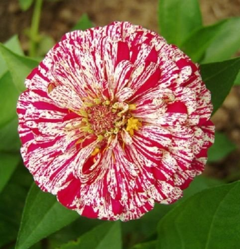 elegans Zinnia Scabiosa Mix Couleur Petite Fleur Zinnia environ 30 pcs graines bonsaï pot fleur de jardin de la maison de bricolage, culture facile