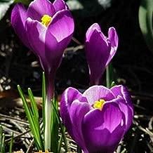 Purple Crocus Bulbs(8 Bulbs) Hot Sale Home Garden Potted Best Spice Organic Fresh