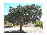 Rare sughero quercia Quercus suber, Evergreen Tree, Nodoso corteccia, 20cm di altezza piantina pianta in un vaso da 8 cm