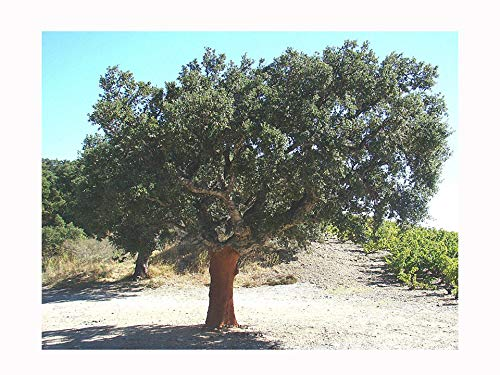 Seltener Kork Quercus SUBER, stark, keimt, verwurzelt, in einem 7 cm Topf (Pflanze ist 5-10 cm hoch), immergrüner Baum, knoppige Rinde