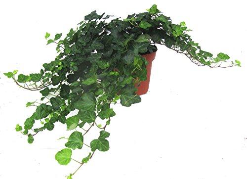 Hedera helix 'Wonder'- Efeu - echte Pflanze im 13 cm Topf als Hängepflanze, Bodendecker oder Zimmerpflanze