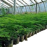Asparagi Semi di asparagi Balcone Semi di asparagi nani in vaso 300 Capsule