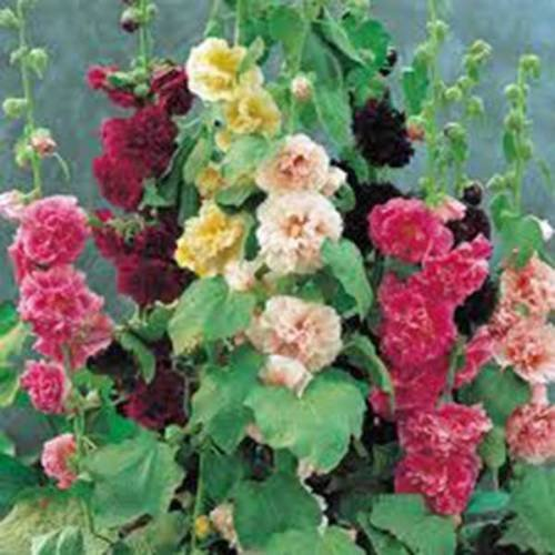 Rose trémière, rose, rouge et jaune 25+ BIO GRAINES Heirloom, BELLE PÔLES DE TALL
