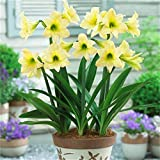 Amaryllis Bulbs-Rare green flowers, wonderful decorations and air-purifying plants, romantic floral gifts for Valentine's Day-1 Zwiebeln