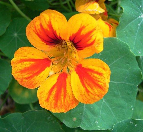 Asklepios-seeds® - 100 Samen große Kapuzinerkresse, Tropaeolum majus