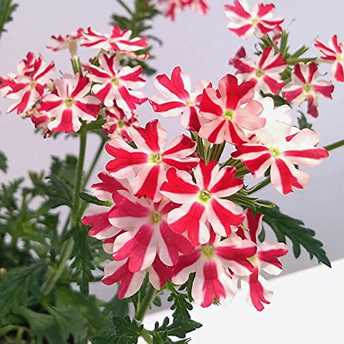バーベナ:ミータン4号鉢植え 2株セット[紅白の星のような花!]