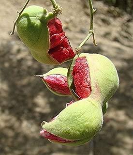 Red Guamuchil 50 Seeds Pithecellobium dulce Tree Madras Thorn Manila tamarind